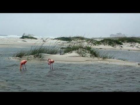 Flamingos on Johnson Beach near Florida/Alabama line.