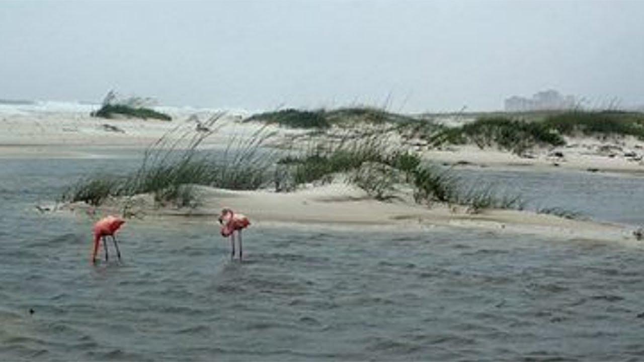Flamingos On Johnson Beach Near Florida Alabama Line