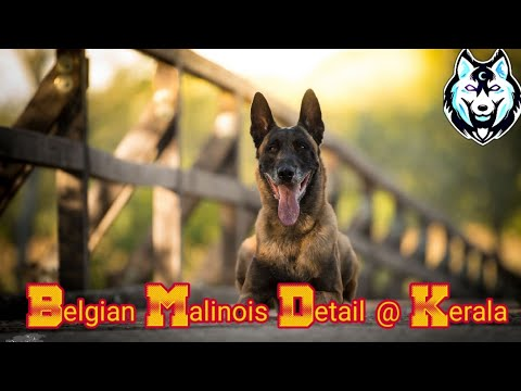 Most Top Detail Of Belgian Malinois At Kerala Price Detail