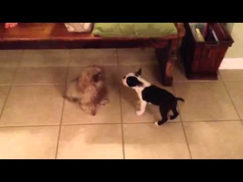Teacup Shih Tzu Meets Boston Terrier Puppy Youtube