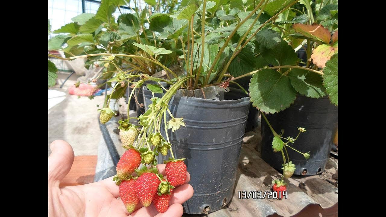 como cultivar fresas en el tr pico y multiplicarla