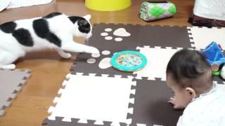 おもちゃをパンチするビビり猫 乱入する赤ちゃん Chicken-Hearted Cat & Brave Baby