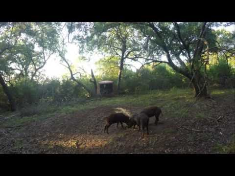 Bowhunting Hill Country Hogs Part 2 (reverse angle)