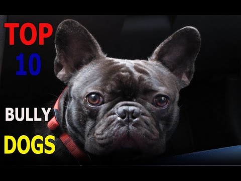 Top 10 bully dog breeds | Top 10 animals