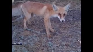 В Железногорске собаки растерзали бешеную лису: скоро объявят карантин