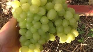 Виноград . Сорта которые долго висят на кусту .
