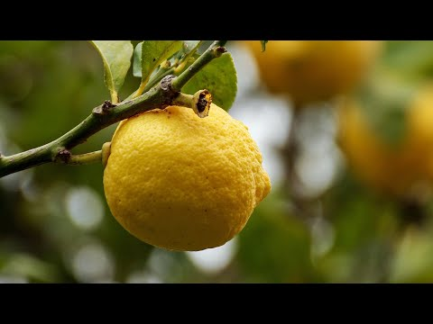 PROPAGATING CITRUS TREES FROM CUTTINGS | LEMON