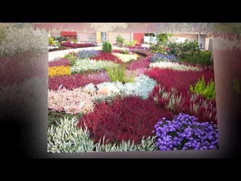 Вереск обыкновенный – полезные свойства, выращивание и