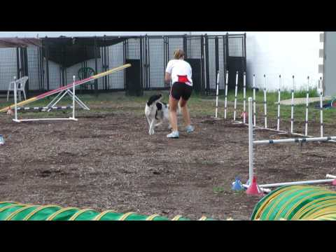 Field Bred English Springer Agility