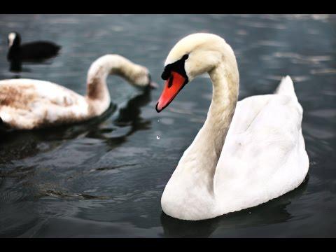 Los cisnes del Lago Lemán - Ginebra , Suiza