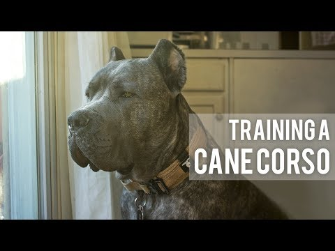 How I train my Cane Corso - 3 Easy Training Techniques