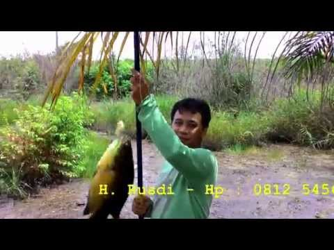 Mancing Ikan Papuyu - Betok Kalimantan 01