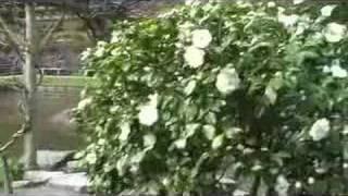 """""""Kushi Iyamase"""" A Japanese Enka Song 演歌"""