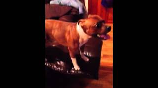 Red Staffordshire Bull Terrier