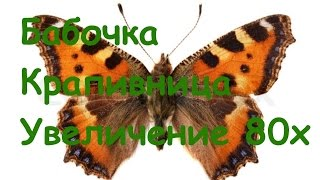 Бабочка Крапивница Под микроскопом Увеличение 80х