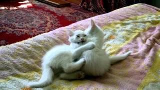 Котята играют от РУССКАЯ ПРИРОДА