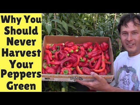 Why You Should Never Harvest Your Peppers Green + Pepper Haul