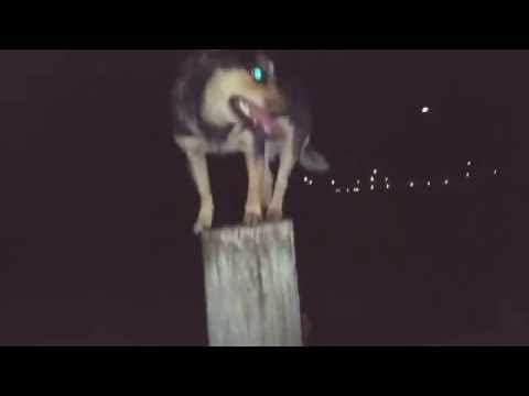 Cattle Dog Balance on top of pole