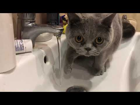 Cat and water/ Morning shower/ British shorthair cat