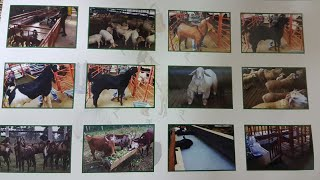 goat videos