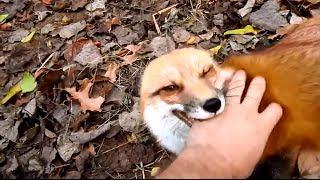 🔴 Happy fox! (szczesliwy lis)