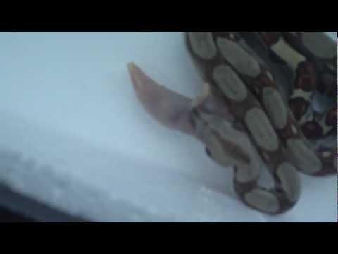 first snake (boa) feeding step4