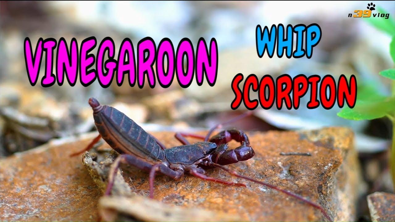 LIVE DICTIONARY - VINEGAROON | BỌ CẠP ROI | UROPYGI | GEISSELSKORPIONE | UROPÍGIDO | n39 vlog