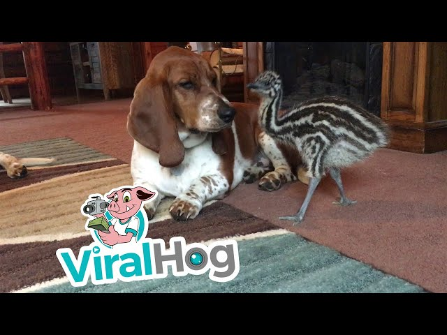 Baby Emu Playing With Basset Hounds