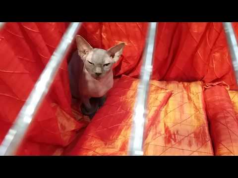 Grumpy little Sphynx at the GCCF Cat Show