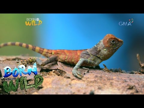 Born to Be Wild: Can Doc Nielsen find the elusive Negros forest dragon?