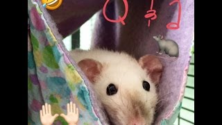 Q&A-RatGirl44 Tail Injuries, Keeping rats alone and Why rats are so hated