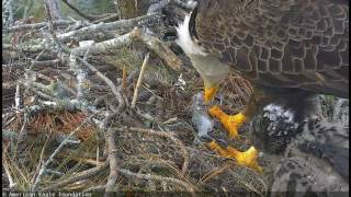 aef nefl 1 21 2017 hope snatches a fish from mom mom wins