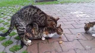 Ridiculous cats mating vęry loudly 2018