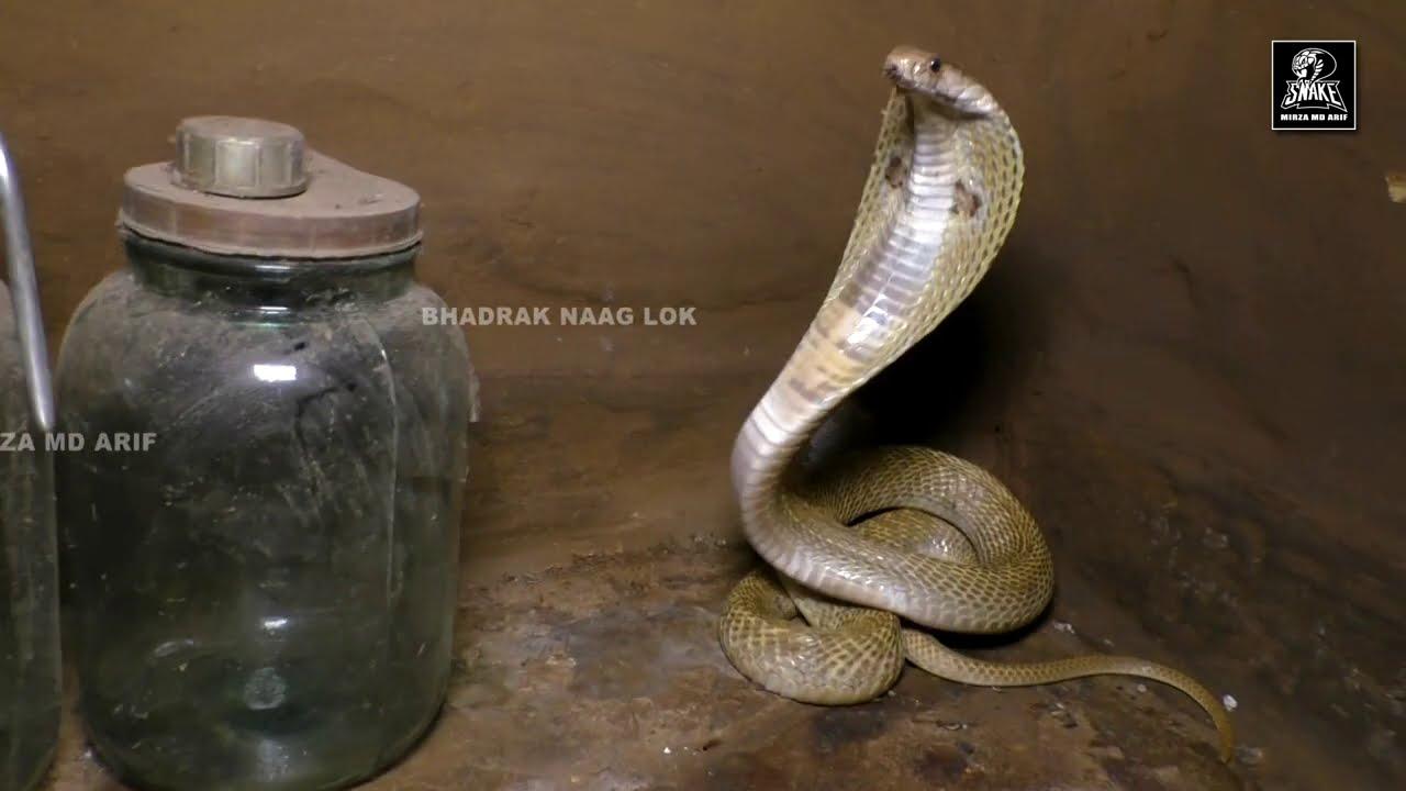 बहुत ही खतरनाक होते है नाग,आधी रात बचाव नहीं तो घर में होता मातम। Angry Cobra|midnight|Rescued