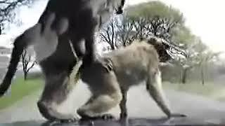 Секс обезьян на капоте машины