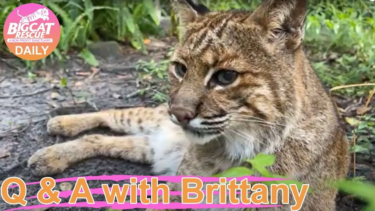 Wednesday Morning Walkabout with Brittany and some of the small cats at Big Cat Rescue! 07 28 2021