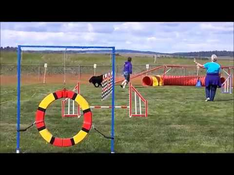 Eve, Flat-Coated Retriever doing agility