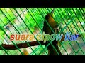 Suara Khas Burung Cipow Liar  Mp3 - Mp4 Download