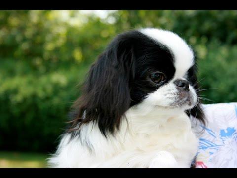 Japanese Chin - Dog Breed