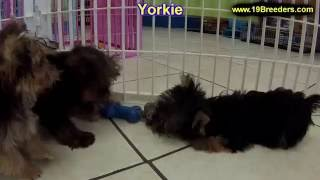 Yorkshire Terrier, Puppies , For, Sale, In Staten Island, New York, Ny, Brooklyn, County, Borough