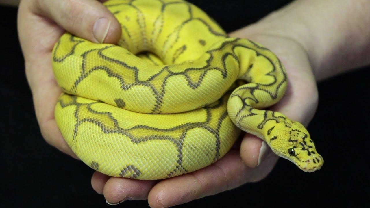 Whoa! Amazing Clown Ball Pythons! - TRC Hobby Breeders