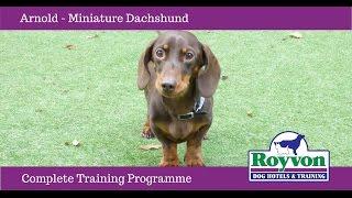 Arnold the Miniature Dachshund Dog at Royvon's Complete Training Programme