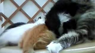 2008/09/20 「ねこのすみか」さんが後に下北沢の店へ行く子猫ちゃんの訓練所に成っていた頃です。 どれが、アクビちゃんの子猫ちゃんなの~実は...