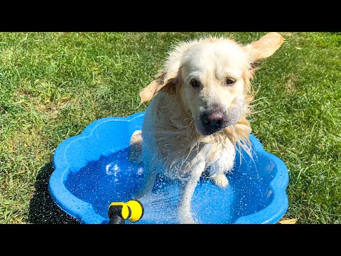 Golden Retriever takes a shower on a hot summer day