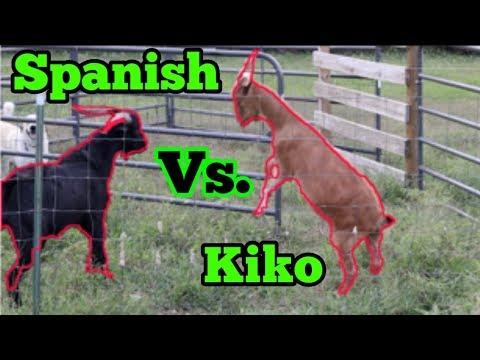 Spanish Goat Vs Kiko Goat!!!! Breeding Season!