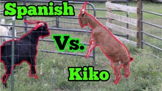 Spanish Goat Vs Kiko Goat!!!! Breeding Season!