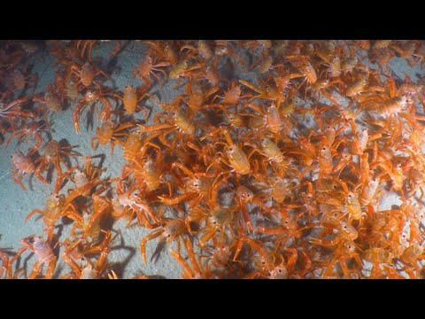 Incredible Footage Shows Crabs Migrating Across The Ocean