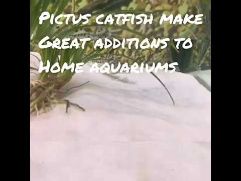 How To Care For Pictus Catfish!