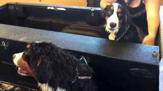 Getting Pretty - Bernese Mountain Dogs At The Smudge Wash - Bernese Of The Rockies