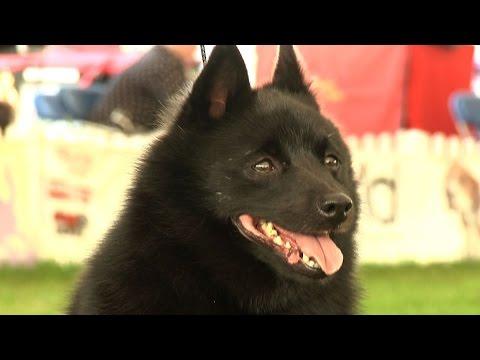 Richmond Championship Dog Show 2014 - Utility group